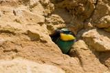 Merops apiaster, European Bee-eater poster