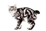 Purebred Kunashir cat poster