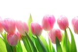 pink tulips - 13232938