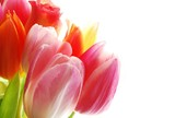 pink tulips - 13232948