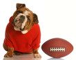 adorable bulldog wearing sweatsuit with football