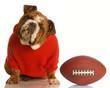 adorable bulldog wearing sweatsuit with football