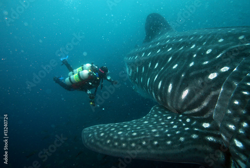 scuba diver approaching whale shark in galapagos islands