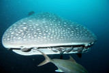 Fotoroleta Approaching head of whale shark