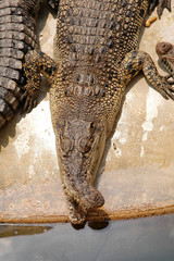 Crocodile with a skew nose