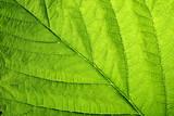 green leaf vein poster