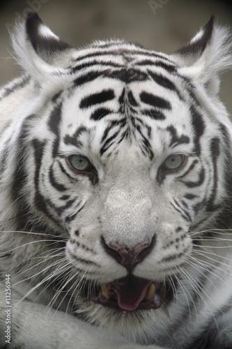 White Tiger Portret Close Up