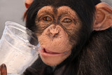 Thirsty Chimp poster