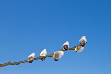March. A blossoming branch of a willow