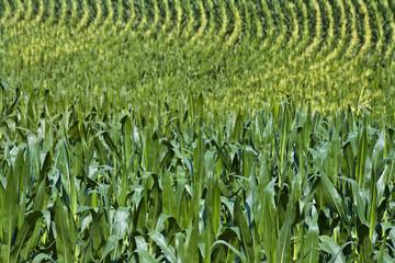 crop of corn