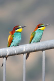 Bee-eater (Merops apiaster), the marriage season, Israel poster