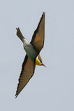 Bee-eater (Merops apiaster) in flight, Israel poster