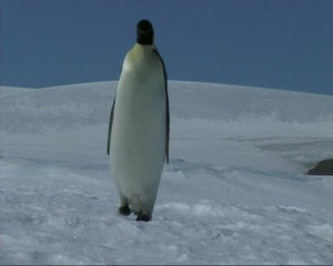 Emperor penguin on the sea ice in the Weddell Sea