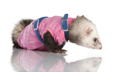 ferret (3 years old) - Mustela putorius furo