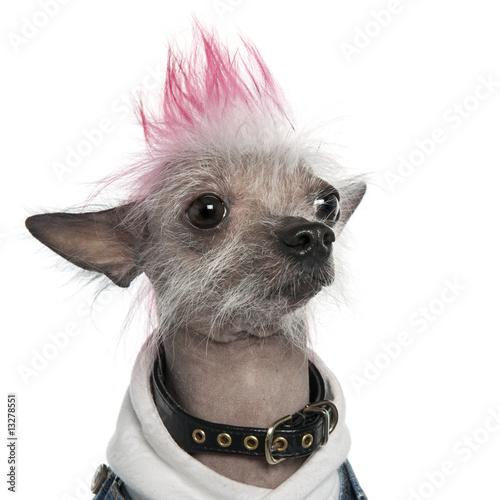 Fototapeten,hund,haustier,punker,tier