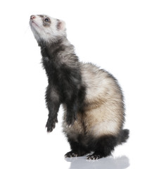 ferret - Mustela putorius furo (1 year old)