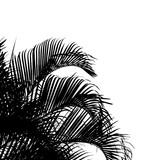 Fototapety des palmes noires sur fond blanc