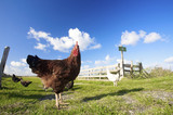 Fototapety chickens on a farm in summer with green grass