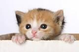 Fototapety Kitten in Box