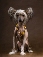 The Chinese Crested Dog