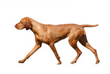 Hungarian Vizsla isolated with clipping path poster
