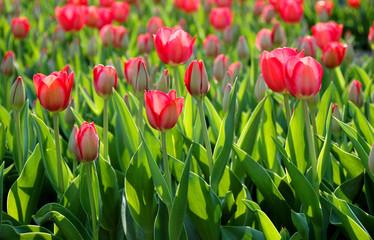 Tulpenfeld im Sonnenlicht