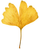 Ginkgo leaf with autumn colors