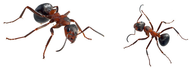 Two ants (Formica polyctena) isolated on white