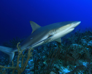 Caribbean Reef shark on coral reef