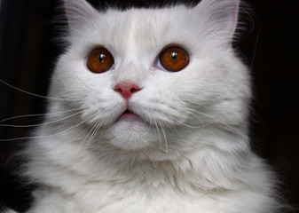 White cat with brown eyes over black