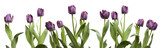 Row of Purple Tulips-