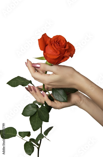 Rose in hands of the woman