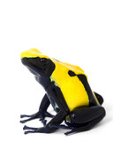 Citronella Dyeing Poison Dart Frog poster