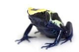 Cobalt Dyeing Poison Dart Frog poster