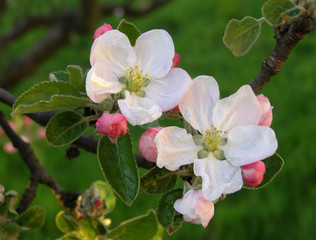 Apple tree branch in bloom