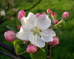 Apple tree branch, close up with flower and buds