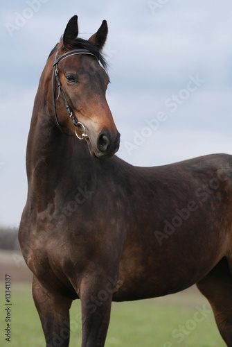 portrait of brown mare