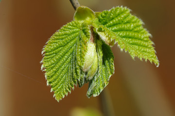 Sprouting hazel leaves