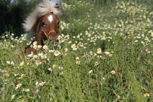 pony - gallop in blumenwiese