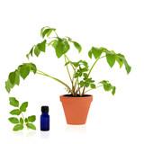 Angelica Healing Herb poster