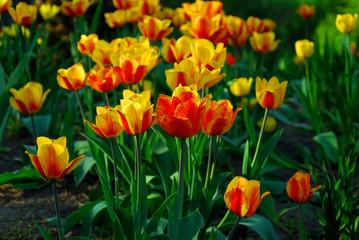 prachtvolle tulpenbeet