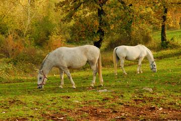 Cavallo Lipizzano 4