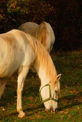 Cavallo Lipizzano 2