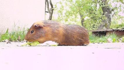cobaye qui dévore sa feuille de salade sur une terrasse