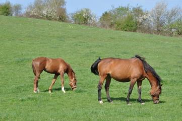 Poulain et cheval #1