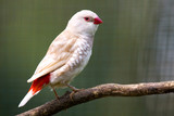 Diamond firetail ( Stagonopleura guttata )