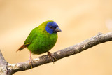 ÊDiamond de Kittlitz or Blue-faced parrot-finch  ( Erythrura tri