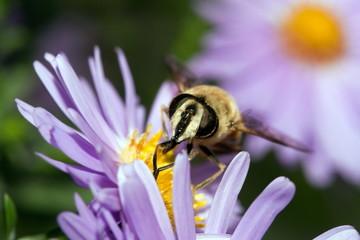 Wasp collectig pollenum