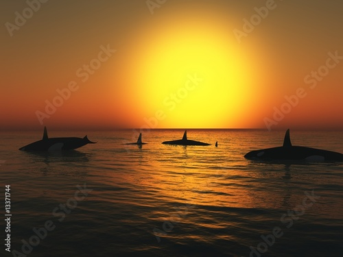 Orca (killer whales) at Sunset
