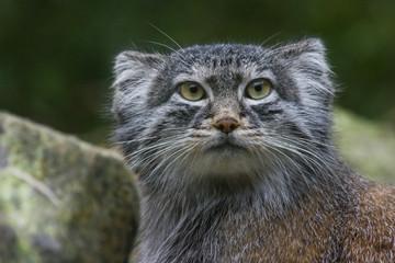 Pallas cat or Manul